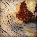 Bark Eddy Jeffrey Pine Sentinel Dome Yosemite Inspiration Trip Work of My Hands